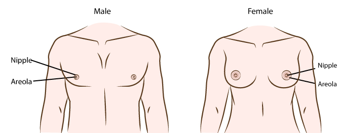Shows the positioning and  size of a nipple in male and female